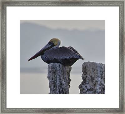 Pelican Perch Framed Print by Linda Dunn