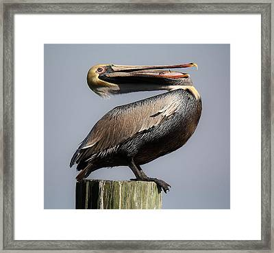 Pelican Perching Framed Print by Paulette Thomas