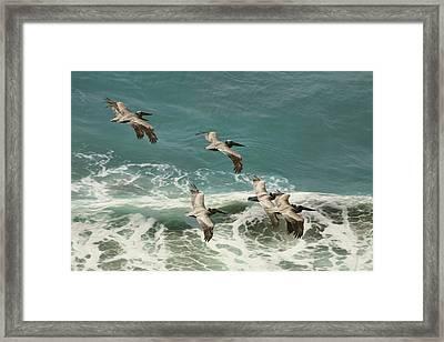 Pelicans In Flight Over Surf Framed Print by Gregory Scott