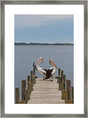 Pelicans On A Timber Landing Pier Mooring Framed Print by Ulrich Schade