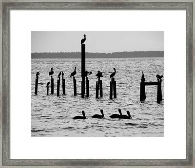 Pelicans On Posts Framed Print by Judy Wanamaker