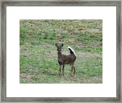 Pennsylvania White Tail Deer Framed Print by Bill Cannon