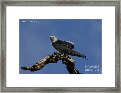 Perched Kite Framed Print by Barbara Bowen
