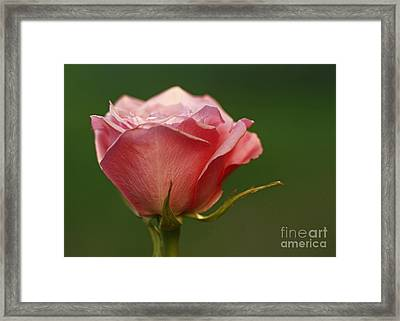 Petal Perfection- Pink Tea Rose Flower Framed Print by Inspired Nature Photography Fine Art Photography