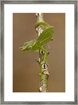 Petters Chameleon Furcifer Petteri Framed Print by Pete Oxford
