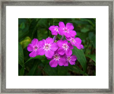 Phlox In Bloom Framed Print by Bill Pevlor