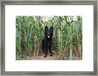 Phoenix In The Cornfield Framed Print by Sandy Keeton