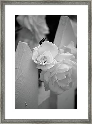 Picket Rose Framed Print by Peter Tellone