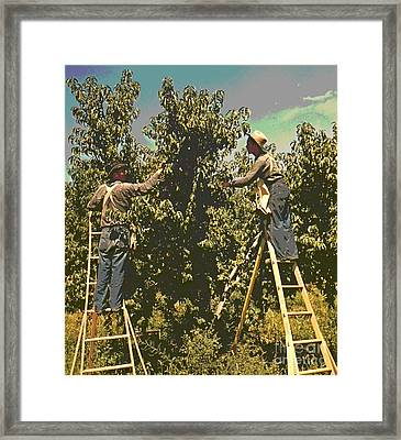 Picking Peaches Framed Print by Padre Art