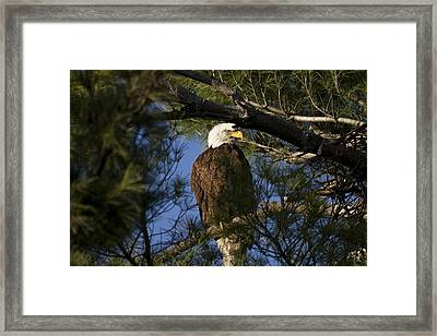 Picture Perfect Bald Eagle Framed Print by Joe Gee