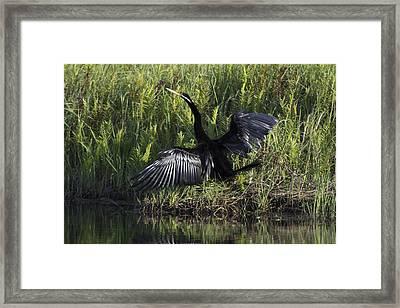 Pied Cormorant Framed Print by Douglas Barnard