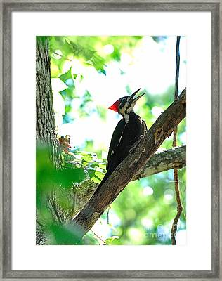 Pilated Woodpecker With Firey Knot Framed Print by Wayne Nielsen