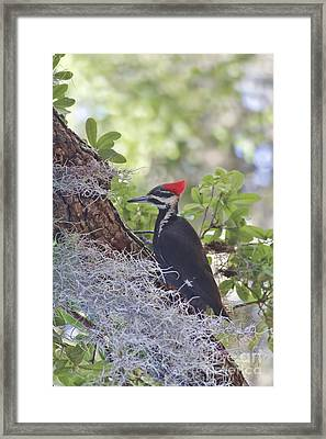 Pileated In The Moss Framed Print by Deborah Benoit