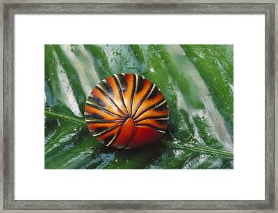 Pill Millipede Glomeris Sp Rolled Framed Print by Cyril Ruoso