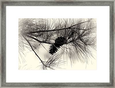 Pine Cones In The Treetops Framed Print by Douglas Barnard