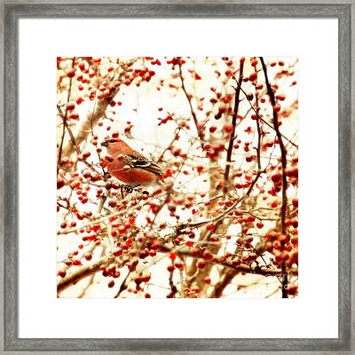 Pine Grosbeak Framed Print by HD Connelly