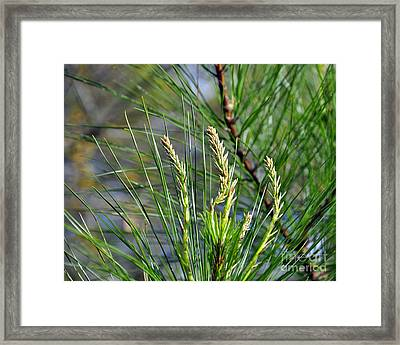 Pine Needles Framed Print by Al Powell Photography USA