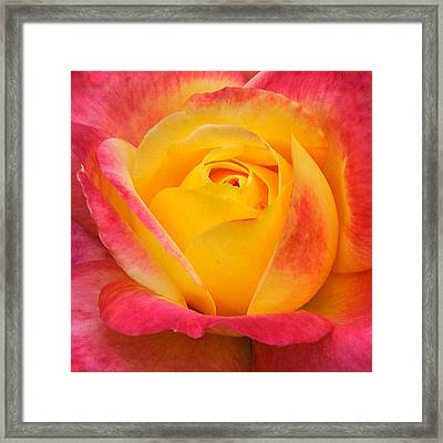Pink And Yellow Rose 8 Framed Print by Edward Sobuta
