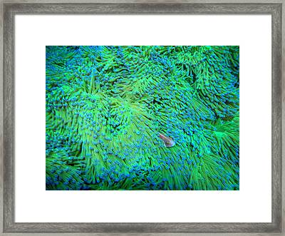 Pink Anemonefish Framed Print by Takau99