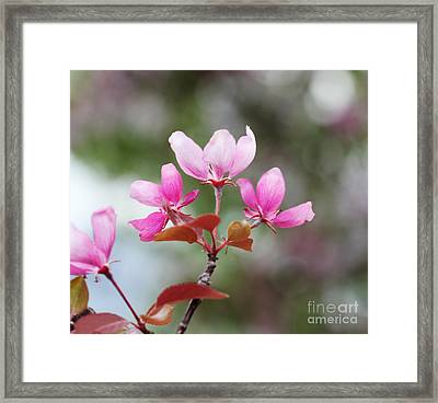 Pink Apple Blossom 2 Framed Print by Donna Munro