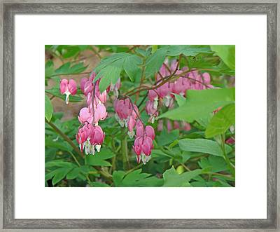 Pink Bleeding Heart Flowers - Dicentra Spectabilis Framed Print by Mother Nature