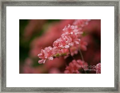 Pink Blossoms Framed Print by Mike Reid