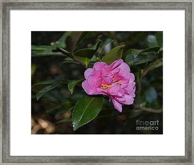 Pink Camellia Flower Framed Print by Eva Thomas