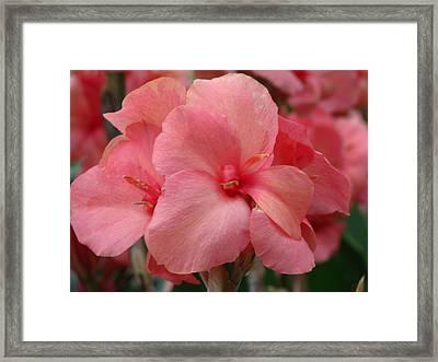 Pink Canna Framed Print by Paul Slebodnick