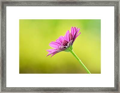 Pink Chrysanthemum On Yellow Background Framed Print by Hegde Photos