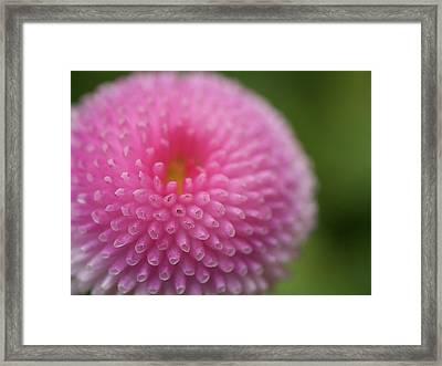 Pink Daisy Flower Framed Print by Myu-myu