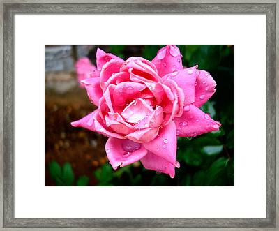 Pink Double Knockout Rose Framed Print by David G Paul