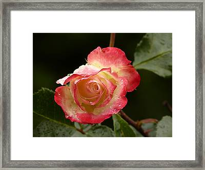 Pink Flame...but Frozen.. Framed Print by Palash Bera