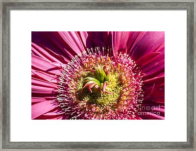 Pink Gerbera Daisy Framed Print by Scotts Scapes