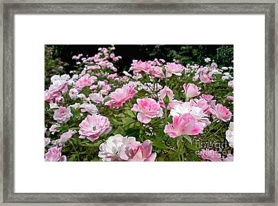 Pink Iceberg Roses Framed Print by Kaye Menner