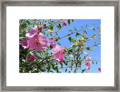 Pink Musk Mallow Framed Print by Pamela Patch