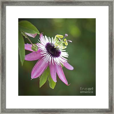 Pink Passion Flower Framed Print by Glennis Siverson