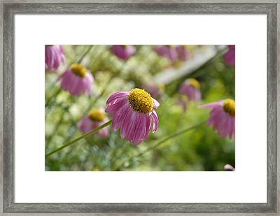 Pink Persuasion Framed Print by Robert Meyers-Lussier