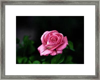 Pink Rose Framed Print by Annfrau