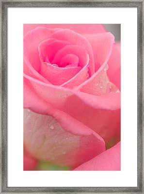 Pink Rose Framed Print by Atiketta Sangasaeng