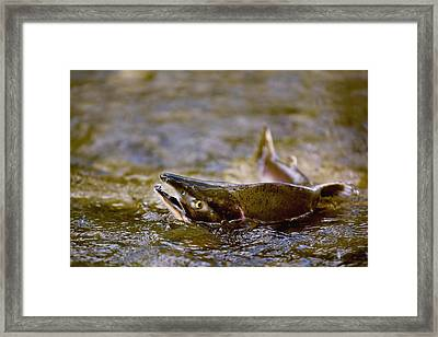 Pink Salmon Struggling To Return To Framed Print by Richard Wear