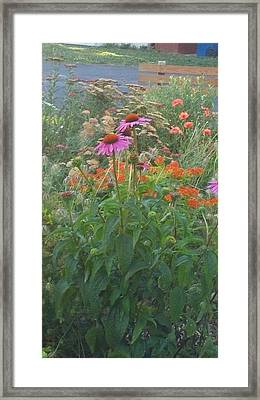 Pinkviolet Dasies With Garden Flowers Framed Print by Thelma Harcum