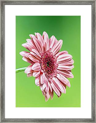 Pinky On Lime Framed Print by Bill Tiepelman