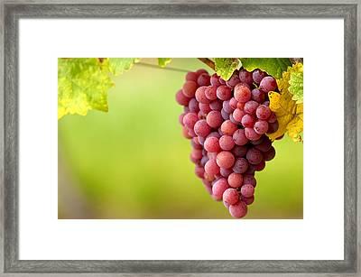 Pinot Noir Grapes Framed Print by Jeremy Walker