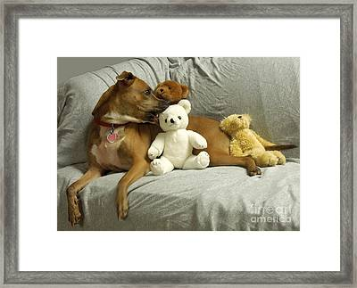 Pit Bull With Her Teddy Bears Framed Print by Renee Trenholm