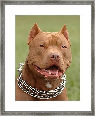 Pitbull Red Nose Dog Portrait Framed Print by Waldek Dabrowski