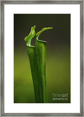 Pitcher Plants 2 Framed Print by Bob Christopher