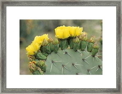 Plains Prickly Pear Blossoms Framed Print by Rich Reid