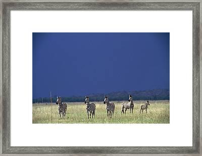 Plains Zebra Equus Burchelli In Chobe Framed Print by Beverly Joubert