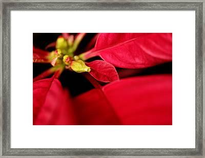 Poinsetta2 Framed Print by Sherry Davis