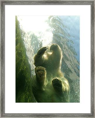 Polar Bear Plunge Framed Print by Jennifer Anderson